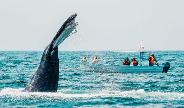 Temporada de Avistamiento de Ballenas en Riviera Nayarit
