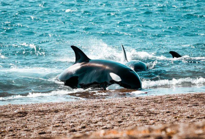 Argentina: Inicia la temporada de avistamientos de Orcas