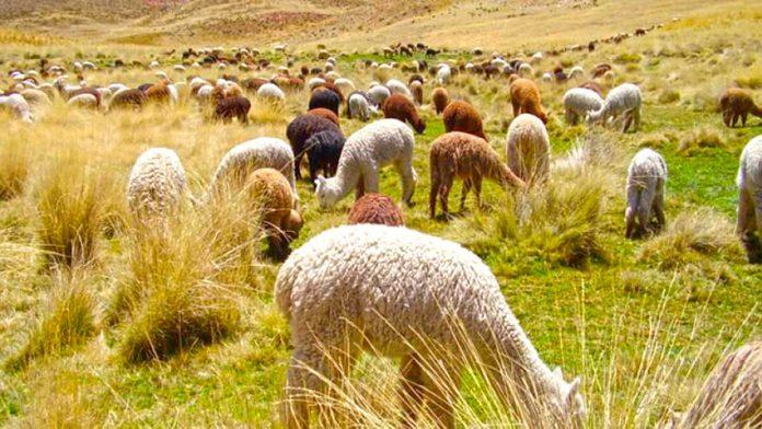 La exporotación de Alpacas de Perú a China